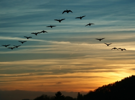 birds in formation with sunset