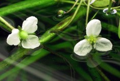 Flowers on water Sagittaria-subulata-flowers