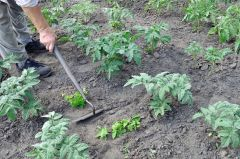 hoeing-the-tomato-plantation-in-the-vegetable-garden-Stock-Photo
